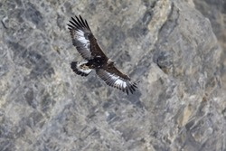 A golden eagle flying by with the Alps of Switzerland in the background.