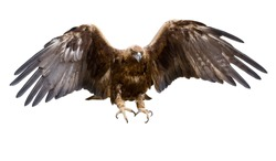 a golden eagle with spread wings, isolated