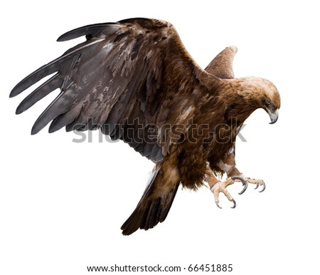 Shutterstock a golden eagle with spread wings, isolated