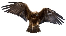 a golden eagle with spread wings, isolated over white