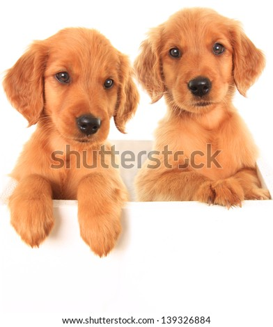 A golden Irish/ red Retriever puppies. A hybrid between a golden retriever and an Irish setter.