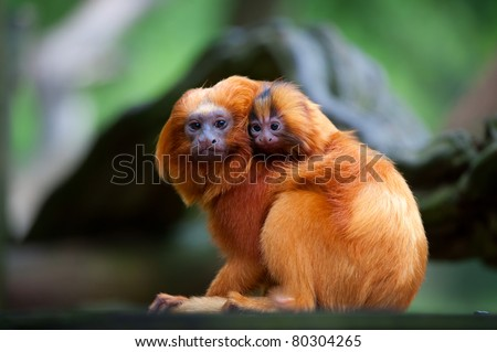 A golden lion tamarin with baby (Leontopithecus rosalia)