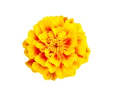 A golden marigold flower head isolated white