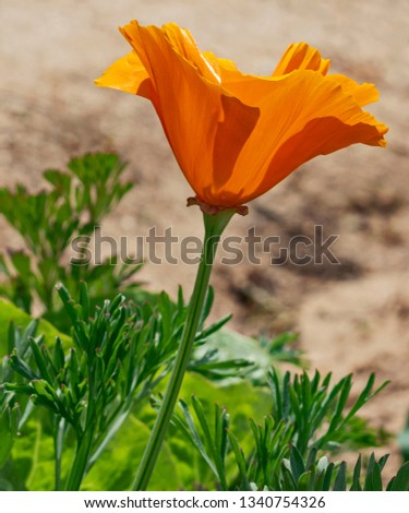 a golden orange california poppy pictured from the side with leaves and other vegetation at the base