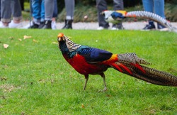 A golden pheasant with bright multicolored plumage and a long variegated tail walks through the botanical park of Italy, in the background the legs of those watching the bird are blurred