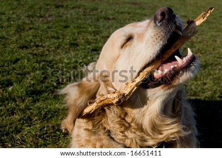 a golden retriever cleaning his teeth