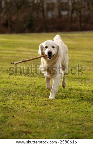 a golden retriever dog in a field of grass, bringing a piece of wood