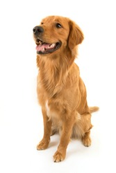 A Golden Retriever dog is sat for studio portraits against a white background.