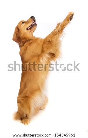 A golden retriever dog standing on his hind legs