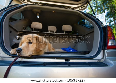 A golden retriever dog waiting patiently in the back of a car for a road trip