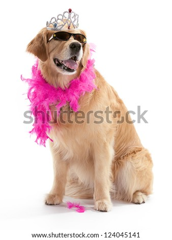A Golden Retriever posing with sunglasses and a boa