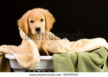 A Golden Retriever Puppy in a laundry basket full of towels.
