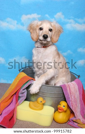 A golden retriever puppy sits in a bath tub with towel, sponge, and yellow rubber ducks