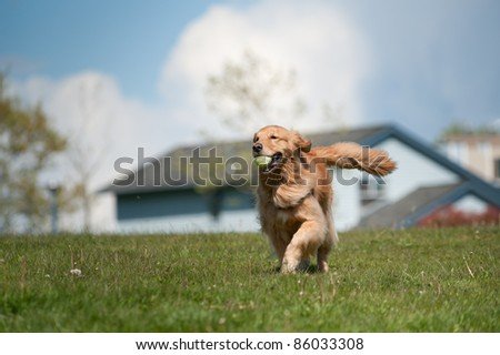 A golden retriever runs in a green grass field carrying a tennis ball in his mouth. Residential homes are out of focus in the background as is a cloudy sky. The moves towards the left of the frame.