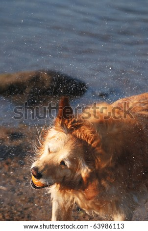 A golden retriever shakes off water during a session of fetch.