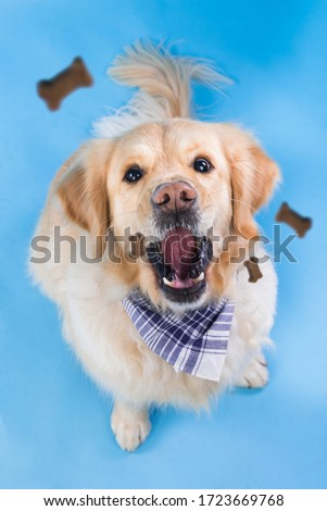 A golden retriever tries to catch a treat in mid air sitting on a blue background. Friendly pet eating bone-shaped cookies. Foto stock ©
