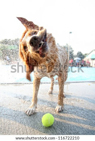 a golden retriever type dog shaking water off at a pool #116722210