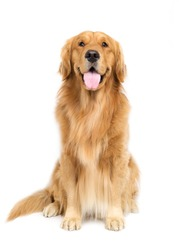 A golden retriever with white background
