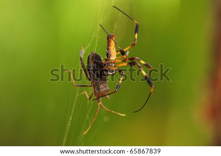 a golden silk orb-weaver Spider (Nephila clavipes) hunting its prey
