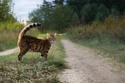 A golden spotted cat stands by the road.