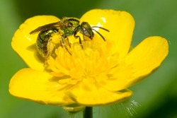 A Golden Sweat Bee is collecting nectar from a yellow Meadow Buttercup flower. Taylor Creek Park, Toronto, Ontario, Canada.