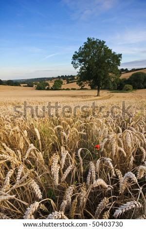 A golden wheat field in summer, with blue sky in the background. Single tree and red poppy in the foreground with tyre tracks running through the frame. Copyspace for your text/design in the sky.