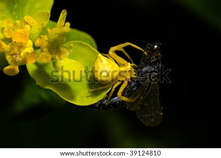 A Goldenrod Crab Spider (Misumena vatia) capturing a fly in a yellow Euphorbia flower.