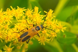 A Goldenrod soldier Beetle is resting on a yellow Goldenrod flower. Also known as a Pennsylvania Leatherwing. Taylor Creek Park, Toronto, Ontario, Canada.