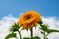 A goldy double sunflower showing it's fluffy petals and two unopen blooms with a blue sky behind them