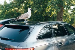 A good bird-seagull stands on the roof of the car and looks at the camera