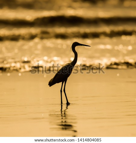 A good pic of the little egret  at sunset on a coast