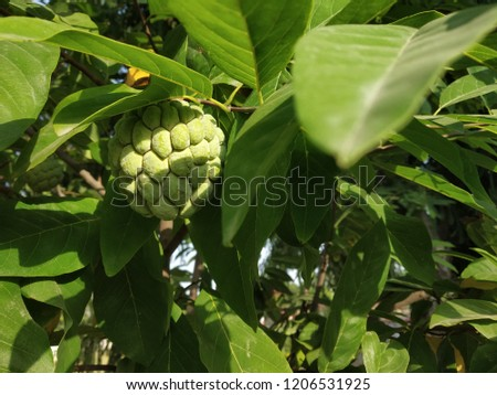 A good quality pic of fresh-juicy Sugar Apple