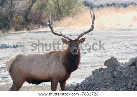 A good side view of a large bull elk.