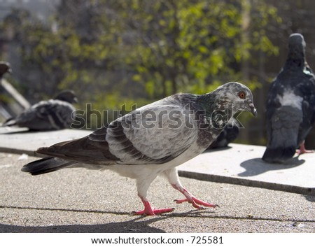 A goofy looking pigeon is step'n out city style.