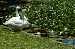 A Goose and Gander Couple by Their Pond with Lily Pads and Lotus Flowers