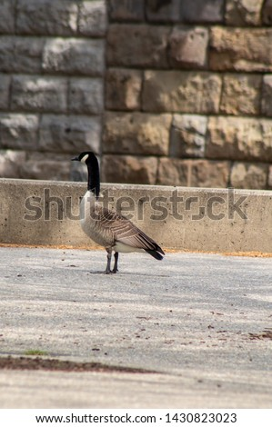 A goose at the Sawyer Point Park in Cincinnati, Ohio.