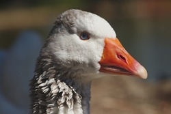 A goose (plural geese) is a bird of any of several waterfowl species in the family Anatidae. This group comprises the genera Anser (the grey geese and white geese) and Branta (the black geese).