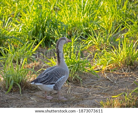 A goose standing in the grassy field on a farm in the Uited Arab Emirates Stockfoto ©