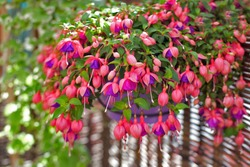 A gorgeous and beautiful fuchsia flower in a pot on balcony