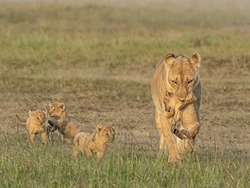A gorgeous mother lioness carries her cub in her teeth while the other three play with each other next to her
