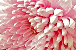 A gorgeous pink bloom angled and photographed to emphasis the natural pattern of petals, selectively focused.