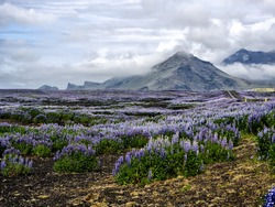 A gorgeous scenic landscape view of a field of purple Iceland Lupines against a volcanic mountain on a cloudy day.