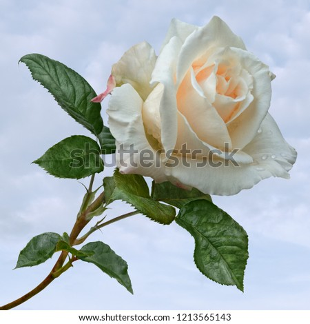 A gorgeous single creamy white rose with green stem and leaves, sprinkled with dewdrops and set against a pale blue summer sky.