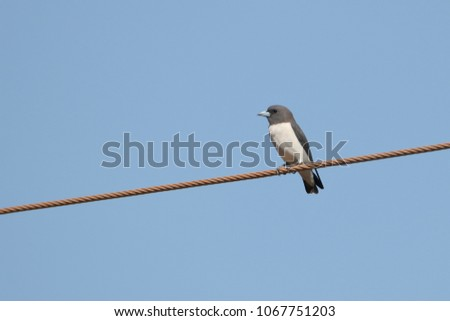 A gorgeous White-Breasted Woodswallow suns itself on an overhead power line in the early morning near Darwin. Northern Territory Australia