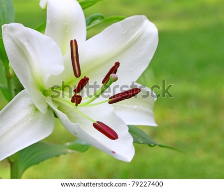 A Gorgeous white Christmas Lily (Lilium longiflorum) outside with room for your text using a shallow depth of field and selective focus on the stamen,stigma and style.