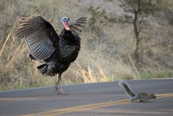 A Gould's Wild Turkey flaps its wings, scaring a way a Gray Squirrel in the process.
