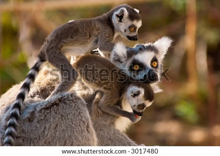 A goup of cute ring-tailed lemurs with the baby monkeys on mothers back