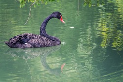 A graceful black swan with a red beak is swimming on a lake with dark green water. The black swan is reflected in the water. Black swan with red beak, Cygnus atratus