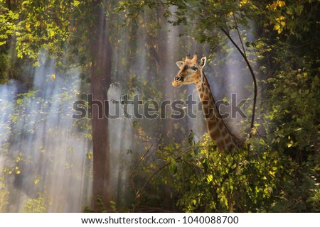 A graceful southern African Giraffe cow wonders through a dense forest with streaks of sunlight shining through dense shrub, onto her face.  An iconic image of mystery, wildlife and nature in harmony.