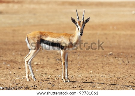 A graceful  Thomson Gazelle beautiful posing for a photograph